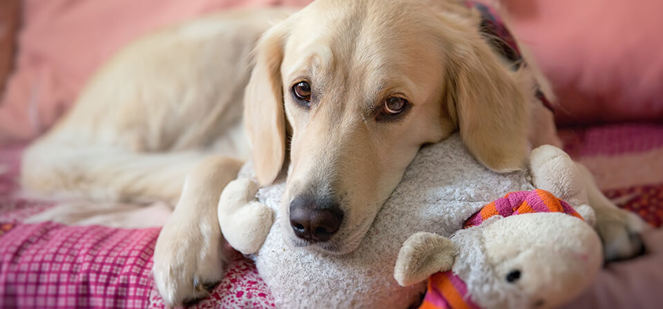 House Calls for Pets - Dog Resting on Stuff Toy